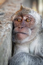 Portrait of a sad monkey crab eating macaque Stock Photography