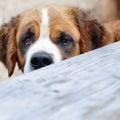 Portrait of saint bernard dog close up Royalty Free Stock Photos