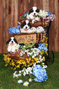 Portrait of Saint Bernard Puppies Stock Images