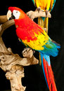 Portrait of a Scarlet macaw rescue parrots Royalty Free Stock Photo