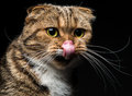 Portrait of Scottish Fold cat which licking nose Royalty Free Stock Photo