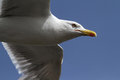 Portrait of a seagull in flight on deep blue skies Stock Photo