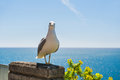 Portrait of a seagull Royalty Free Stock Photo