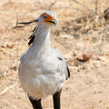 Portrait of a Secretary Bird Royalty Free Stock Photo