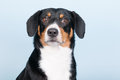 Portrait sennen hund of an entlebucher sennenhund on blue background Stock Photos