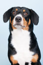 Portrait sennen hund of an entlebucher sennenhund on blue background Royalty Free Stock Photo