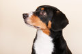 Portrait sennen hund of an entlebucher sennenhund on cream colored background Royalty Free Stock Image