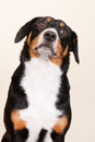 Portrait sennen hund of an entlebucher sennenhund on cream colored background Stock Photo