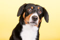 Portrait sennen hund of an entlebucher sennenhund on yellow colored background Stock Image