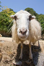 Portrait of sheep Stock Photo