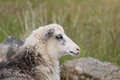 Portrait of a sheep Royalty Free Stock Images