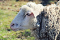 Portrait of sheep close up in sunny day Stock Photography