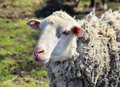 Portrait of sheep close up in sunny day Stock Photo