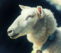 Portrait of the sheep Royalty Free Stock Photo