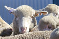 Portrait sheep lamb Royalty Free Stock Photo