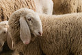Portrait of a sheep with long ears Royalty Free Stock Photo