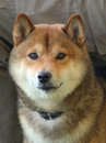 The portrait of shiba dog Royalty Free Stock Image