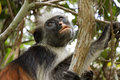 Portrait shot of red colobus monkey in Jozani forest national park