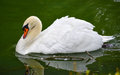 Portrait of a shy Mute swan Cygnus olor as he swims around in its pond in early morning. Royalty Free Stock Photo