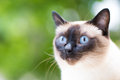 Portrait of a Siamese cat on a green summer background. Selectiv