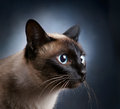 Portrait Of A Siamese Cat Over...