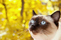 Portrait of a Siamese cat on a yellow autumn background. Selecti