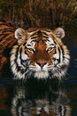 Portrait of a Siberian Tiger Stock Photo