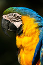 Portrait side profile of a amazon parrot blue and gold beautiful Stock Images