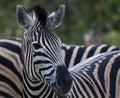 Portrait of single Zebra, Equus looking at camera Royalty Free Stock Photo