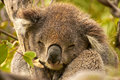 Portrait of a sleeping koala in the wild shot at the coastal bushland between apollo bay and lorne in victoria australia Royalty Free Stock Image