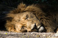 Portrait of sleeping lion closeup lying on side Royalty Free Stock Photography