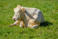 Portrait of a sleeping white cow Royalty Free Stock Photo