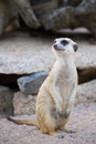 Portrait of Slender-Tailed Meerkat Royalty Free Stock Photos