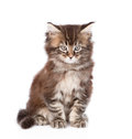 Portrait small maine coon cat. isolated on white background Royalty Free Stock Photo