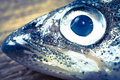 Portrait of smelt fish closeup toned photo Royalty Free Stock Photo