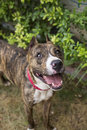 Portrait of a smiling brindle pitbull from above top view shot Stock Photography