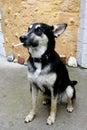 Portrait of smoking dog Royalty Free Stock Images