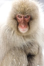 Portrait of a snow monkey Stock Images