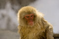 Portrait of a snow monkey Royalty Free Stock Photography