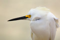 Portrait of snowy egret egretta thula Royalty Free Stock Image
