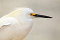 Portrait of snowy egret egretta thula Stock Photos