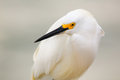 Portrait of snowy egret egretta thula Stock Photography