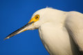 Portrait of snowy egret egretta thula against blue sky Royalty Free Stock Images