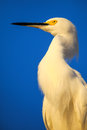 Portrait of snowy egret egretta thula against blue sky Royalty Free Stock Photo