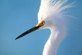 Portrait of snowy egret egretta thula against blue sky Stock Photo