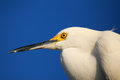 Portrait of snowy egret egretta thula against blue sky Stock Photos