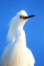 Portrait of snowy egret egretta thula against blue sky Stock Photos