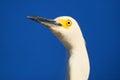 Portrait of snowy egret egretta thula against blue sky Royalty Free Stock Images