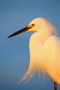 Portrait of snowy egret egretta thula against blue sky at sunset Stock Photos