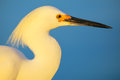 Portrait of snowy egret egretta thula against blue sky at sunset Royalty Free Stock Image